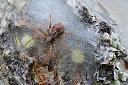Spider mother checking her youngs on a birch tree macro photo photo
