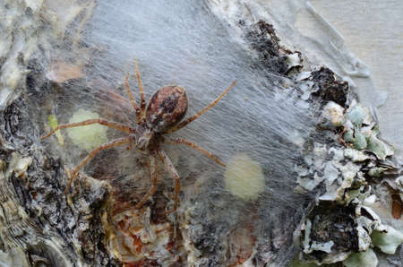 youngs: Spider mother checking her youngs on a birch tree macro photo Stock Photo