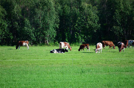 Cows grazing on a green field in the summer sun photo