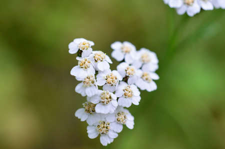 Gold and white Caraway flower in summer macro photo