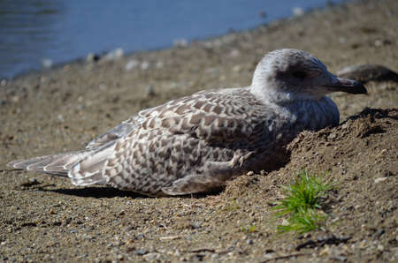 sooth: small seagull resting on the warm summer sand close up