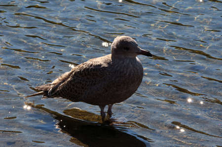 sooth: seagull standing in pond water macro photo Stock Photo