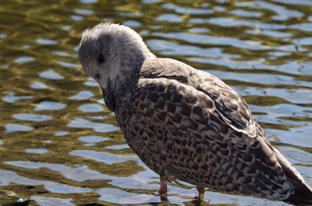 sooth: seagull cleaning its feathers in summer close up