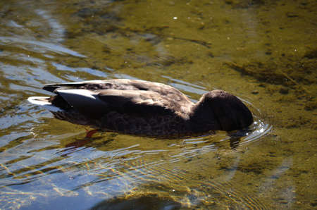 brown mallard duck diving underwater for food in summer pond photo