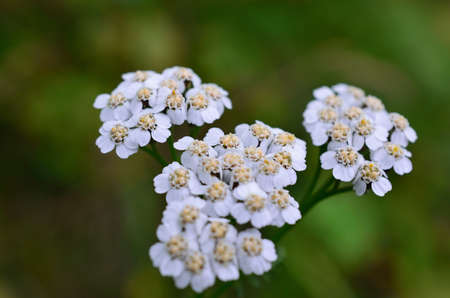 sooth: Gold and white Caraway flower in summer macro photo