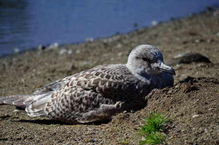 sooth: seagull resting in warm sand in summer close up