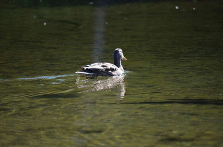 sooth: Beautiful brown duck slowly swimming around in the clear fresh water pond in summer Stock Photo