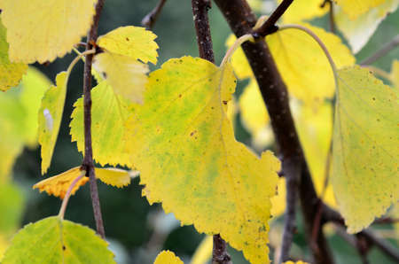 sooth: Beautiful birch leaf turning yellow as the autumn is closing in