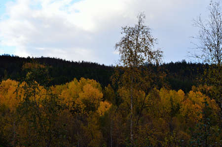 artic circle:  Beautiful belt of strong vibrant yellow birch trees in the artic circle in the beginning of autumn