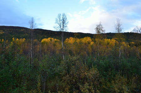 artic circle: Beautiful belt of strong vibrant yellow birch trees in the artic circle in the beginning of autumn Stock Photo
