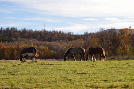 three beautiful horses grazing on a pasture in the late autumn sun photo