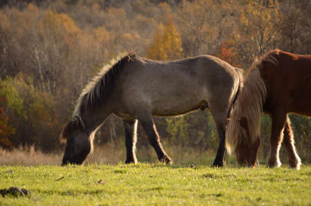 two beautiful horses grazing on a pasture in the late autumn sun photo