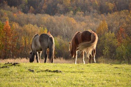 Two beautiful horses walking away in the autumn sun photo