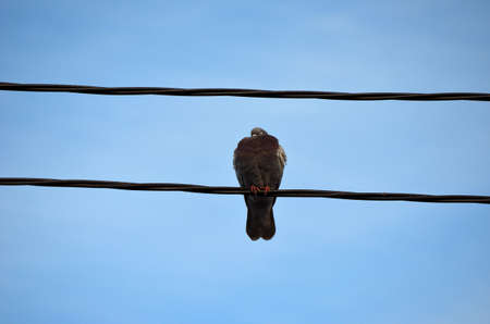 pidgeon: Fantastic vivid pidgeon sitting on a telephone wire in the autumn sun close up