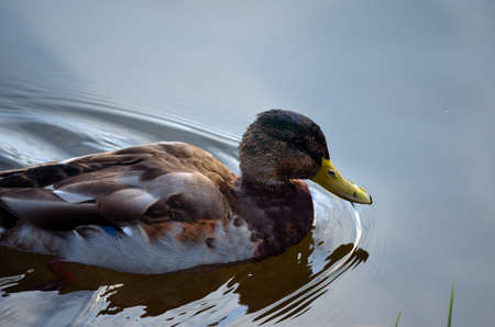 beautiful male mallard duck slowly swimming in clear pond in autumn close up photo