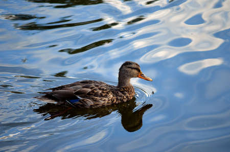 female mallard duck in clear blue pond in autumn close up photo photo