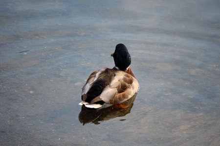 male mallard duck in pond in autumn close up photo