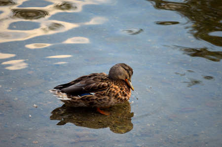female mallard duck in pond in autumn close up photo photo