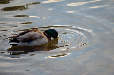 male mallard duck with head under water looking for food in pond close up photo