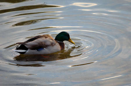 swiming: male mallard duck looking for food in pond close up
