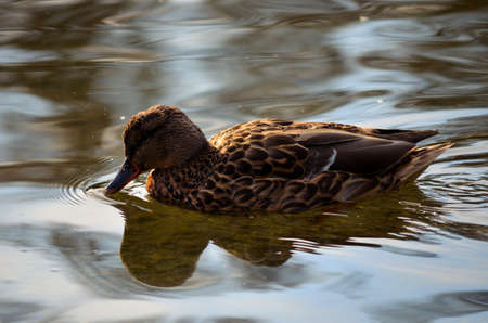 beautiful female mallard duck swimming in pond looking for food close up photo