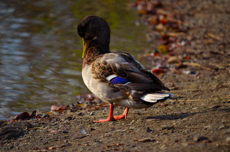 beautiful male mallard duck standing on pond shore in sunlight close up photo