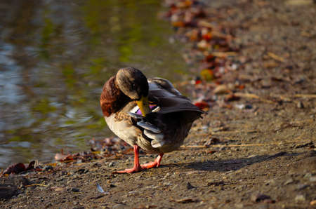 male mallard duck cleaning its feathers on pond shore in late autumn sun close up photo