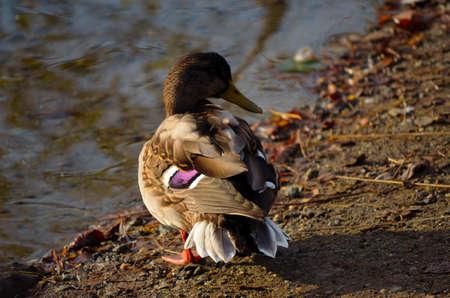 beautiful male mallard duck standing on pond shore in sunlight close up photo
