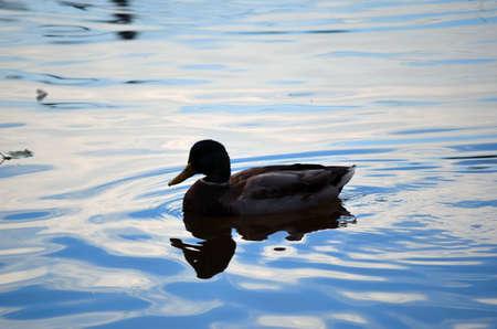 male mallard duck swimming on deep blue pond in autumn close up photo