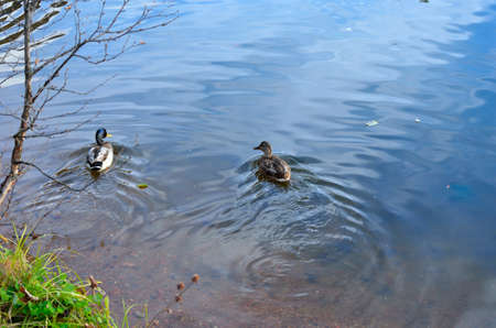Male and female mallard ducks in a pond in Norway in the late autumn close up photo