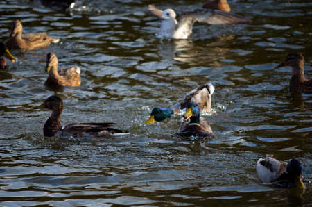 Male, female mallard ducks and seagulls together in a pond in Norway in late autumn close up photo