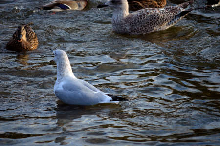 swiming: Male, female mallard ducks and seagulls together in a pond in Norway in late autumn close up Stock Photo