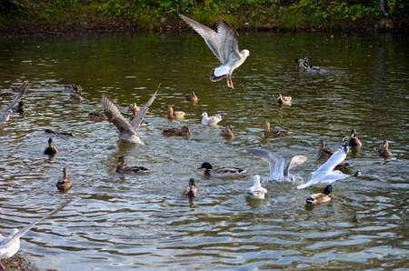 male and female: Male, female mallard ducks and seagulls together in a pond in Norway in late autumn close up Stock Photo
