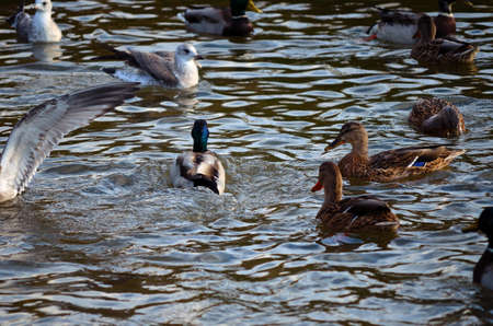 Male and female mallard ducks fighting with seagull in a pond in Norway in late autumn close up photo