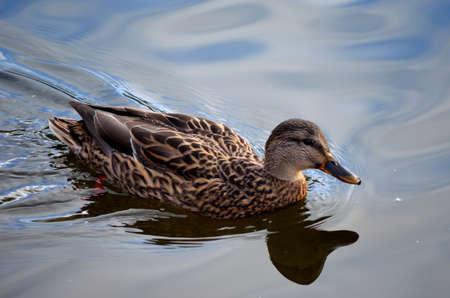 speculum: beautiful female mallard duck swimming in pond in autumn close up