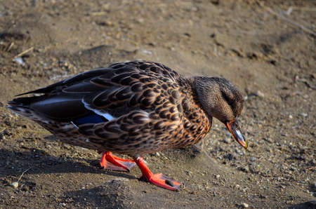 speculum: Beautiful vibrant and colourful female mallard duck gently walking towards the pond in the late autumn sunshine close up Stock Photo