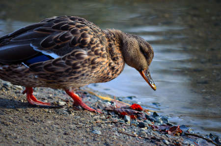 Beautiful vibrant and colourful female mallard duck gently walking towards the pond in the late autumn sunshine close up photo
