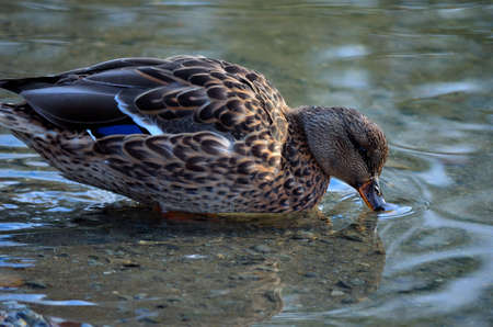 Beautiful vibrant and colourful female mallard duck drinking water from pond close up photo