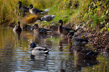 swiming: male and female mallard duck on pond shore in autumn close up