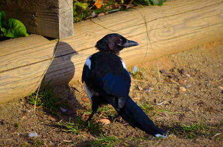 Small curious European Magpie walking beside pond in the autumn sun close up photo