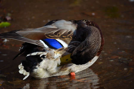 male mallard duck tries to cover eyes with wings by pond shore close up photo