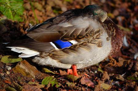 male mallard duck sleeping on pond shore in warm autumn sunshine photo