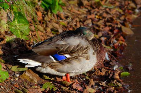 artic circle: male mallard duck sleeping on pond shore in warm autumn sunshine