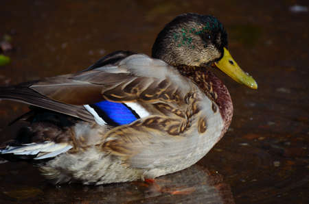 male mallard duck sitting in water near the pond shore close up photo