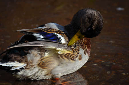 swiming: male mallard duck cleaning its feathers by the pond shore in late autumn close up