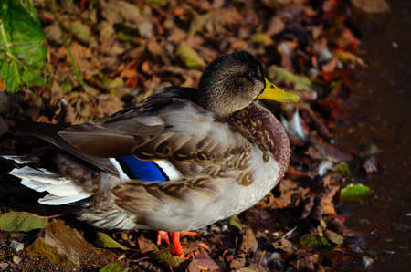 Beautiful male mallard duck sitting on old fallen leaves by the pond shore soaking up the warming late autumn sunshine photo