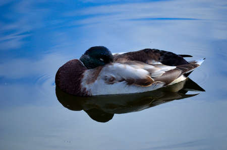 Male mallard duck silently resting on the pond surface close up photo