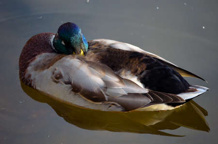 swiming: Male mallard duck silently resting on the pond surface close up