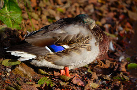 Male mallard duck sleeping by the pond shore getting warm by the late autumn sun close up photo
