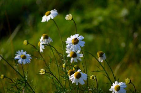 beautiful oxeye daisy wildflower in the late autumn sun photo